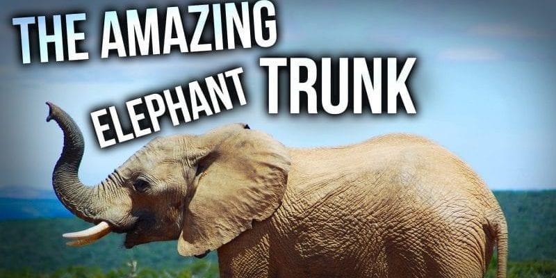 The Amazing Elephant Trunk